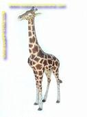 Giraffe, hoogte: 1,90 meter