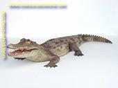 Alligator, lengte: 2,10 meter