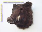 Wild boar (head) 0,53 meter