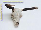 Koeien schedel, 0,80 meter
