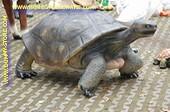 Schildpad, XXL